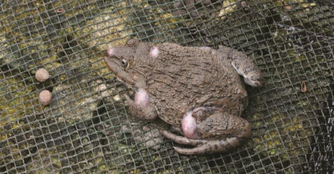 Thị trường 24h: Kiếm tiền tỷ từ việc nuôi ếch
