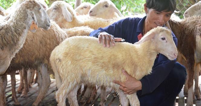 Tự tạo cơ hội: Bỏ phố về quê nuôi cừu