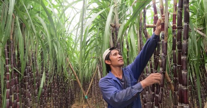 Sống khỏe nhờ trồng mía, mỗi năm thu trăm triệu