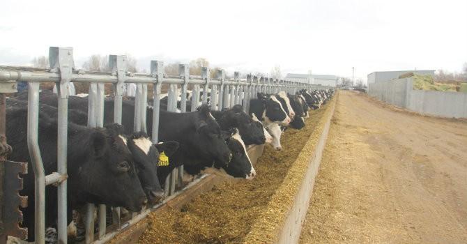 Vinamilk nhập hơn 2.000 con bò sữa cao sản từ Mỹ, tiếp tục khẳng định vị thế dẫn đầu ngành hàng sữa