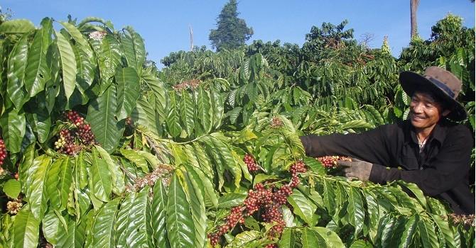 Giá cà phê trong nước tiếp tục giảm mạnh