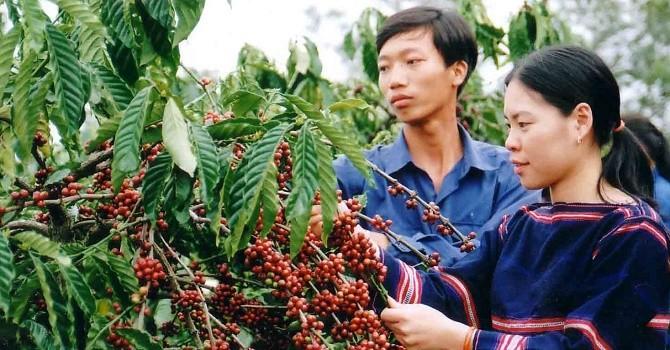 Giá cà phê trong nước bật mạnh nhất kể từ đầu mùa