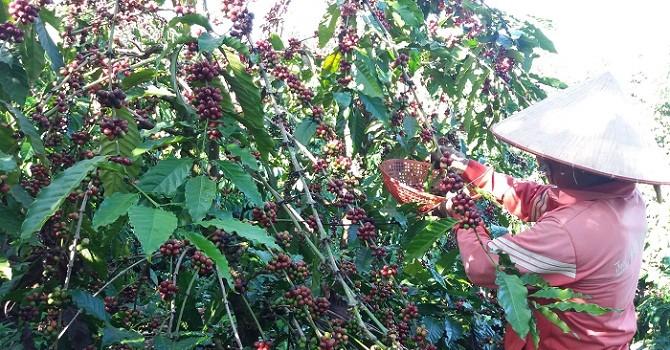 Dân trồng cà phê ở Tây Nguyên mất trắng vụ 2016 do hạn nặng?