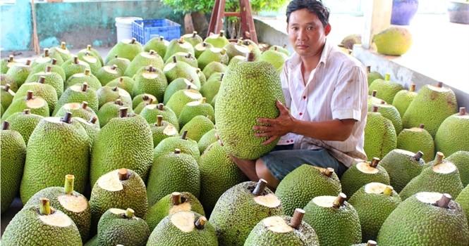 Lãi 400 triệu đồng mỗi ha trồng mít Thái