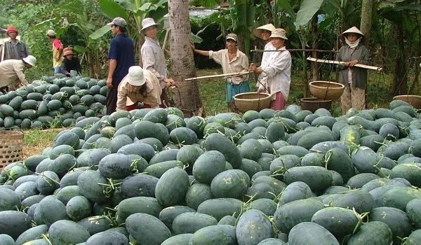 Giá dưa hấu tăng mạnh vì nhiều nông dân bỏ trồng dưa