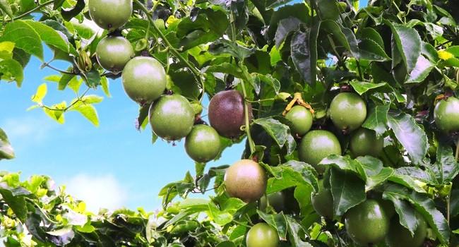 Mảng trái cây đóng góp 30% doanh thu cho công ty nhà bầu Đức