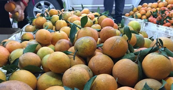 Đua nhau trồng, cam Cao Phong mất giá mạnh
