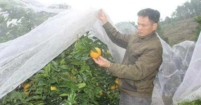 """Anh Lê Văn Tý đang """"mắc màn"""" cho cam"""