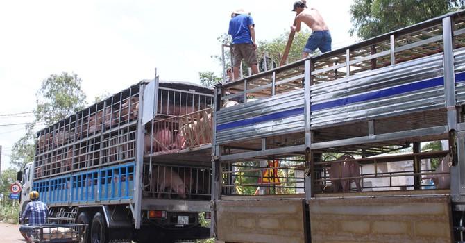 Xuất khẩu thịt lợn sang Trung Quốc: Bài toán biết lời giải nhưng khó làm