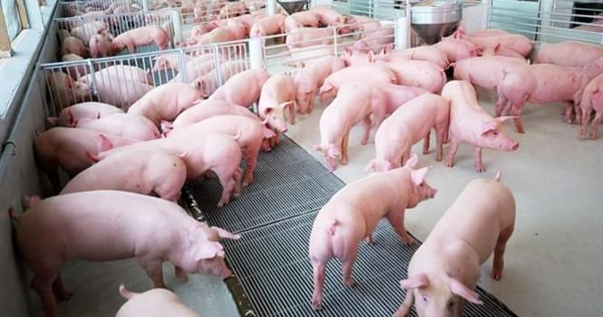 Nhu cầu từ Trung Quốc không ổn định, giá lợn hơi lại xuống dưới 30 nghìn đồng/kg