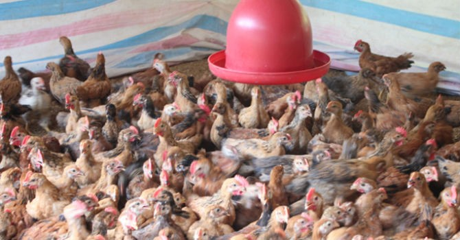 """TPP có khiến ngành chăn nuôi bị """"hất"""" khỏi cuộc đua?"""