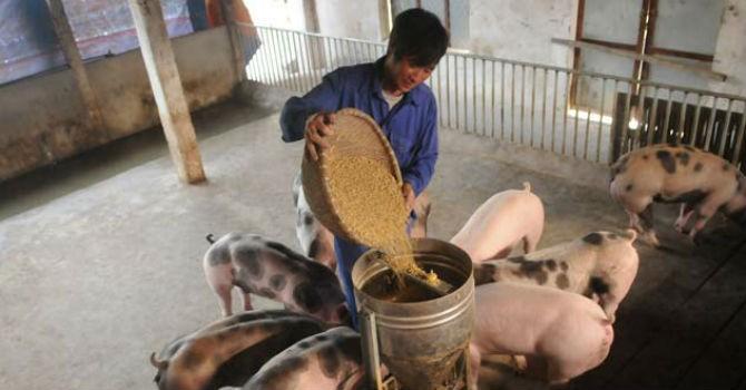 Phát hiện 5 công ty trộn chất cấm vào thức ăn chăn nuôi