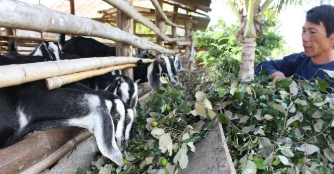 Hình ảnh buồn của ngành nông nghiệp: Đổ táo, dưa hấu, cà chua... cho trâu, bò ăn