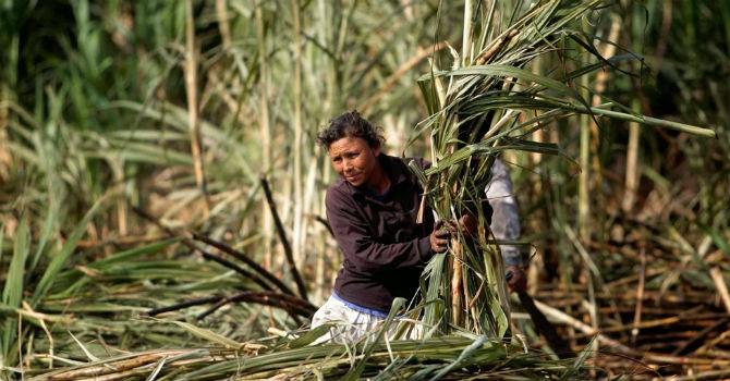 Thị trường 24h: Ngành mía đường Việt Nam thua Lào, Campuchia?