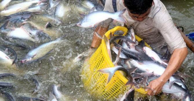 Thị trường 24h: Ồ ạt nuôi cá tra để bán cho thương lái Trung Quốc