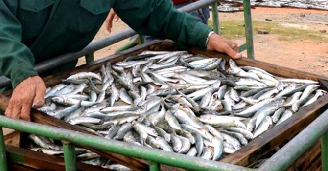 Thị trường 24h: 20 tấn cá nhiễm Phenol trữ trong kho lạnh chưa được xử lý