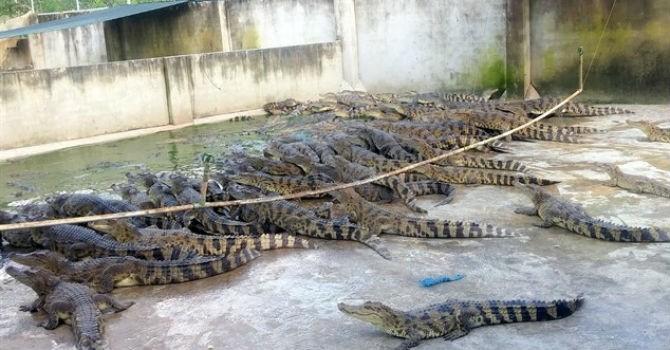 Thị trường 24h: Thương lái Trung Quốc ép giá, người nuôi cá sấu lao đao