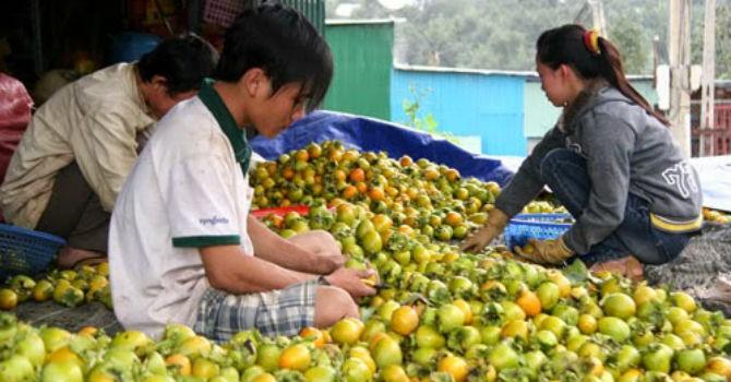Thị trường 24h: Đặc sản trái hồng Đà Lạt ế ẩm vì thông tin thất thiệt