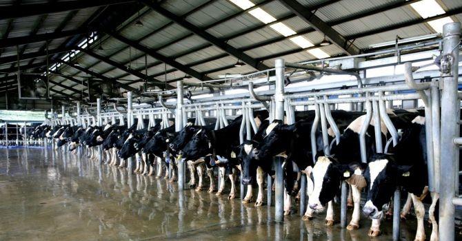 Hanoimilk đầu tư 360 tỷ đồng trồng cỏ và nuôi bò tại Mê Linh