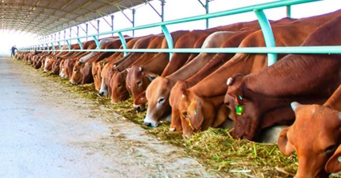 Chăn nuôi bò thời TPP: Vẫn có ngách để cạnh tranh với Mỹ, Úc, Newzealand