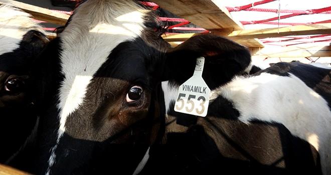 Tháng 4/2015, Vinamilk nhập khẩu thêm gần 1.000 con bò sữa
