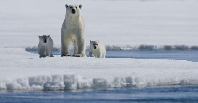 Gấu Bắc cực sẽ bị tuyệt chủng vào năm 2025?