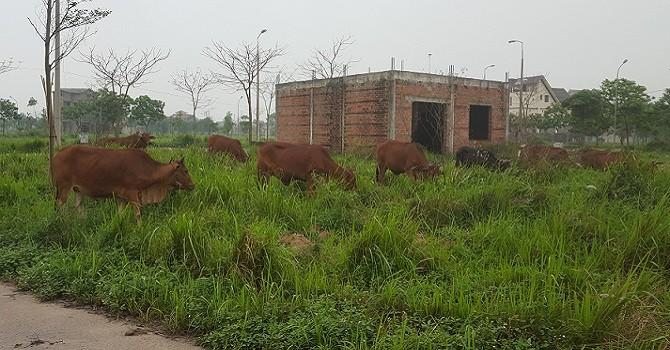 Hình ảnh những biệt thự bạc tỷ bỏ hoang để... nuôi bò