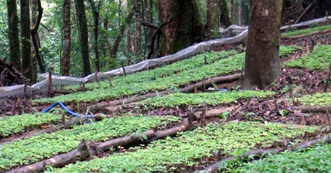 Quảng Nam quy hoạch 19.000 ha trồng sâm Ngọc Linh