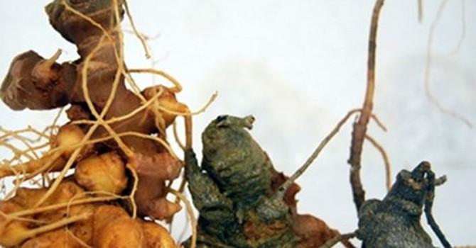Dính quả đắng với sâm Ngọc Linh được làm từ cây dại