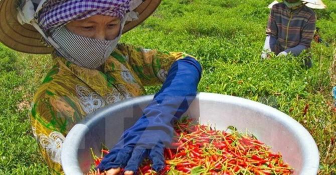 Giá ớt tại tỉnh Quảng Ngãi tăng cao kỷ lục