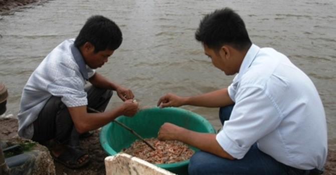 Giá tôm giảm mạnh, nông dân Cà Mau bỏ đầm
