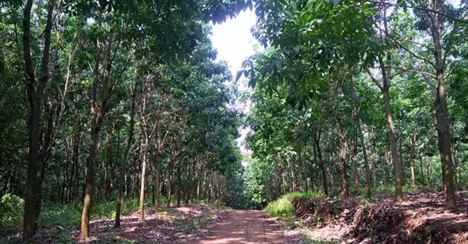 Hàng chục ha cao su ở Sơn La bị chặt phá: Có phải chuyện bất thường?