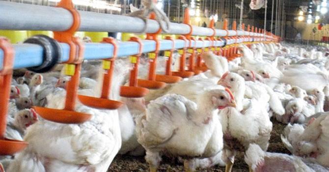 Đầu tư chăn nuôi tại Đồng Nai: Ngoại lấn lướt, nội hụt hơi