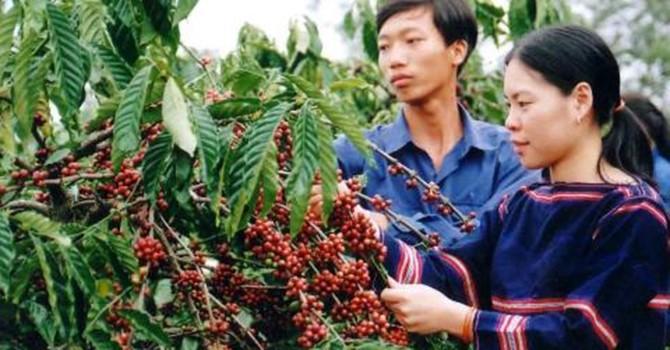 Bấp bênh thị trường cà phê Việt