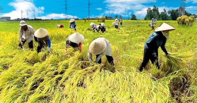 Tín dụng cho vay ngành lúa, gạo tăng tới 22,3%
