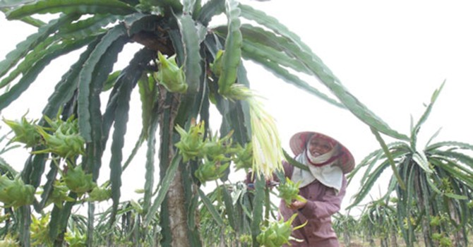 Xuất khẩu rau quả Việt Nam: Thiếu thông tin và bị ép giá