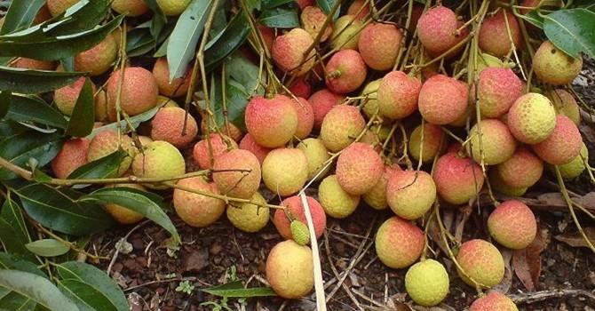Xuất khẩu nông sản Việt Nam - nhìn từ trái vải