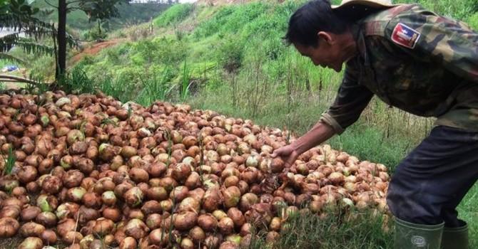 Hành tây 500đ/kg, nông dân Đà Lạt lại đổ bỏ hàng trăm tấn