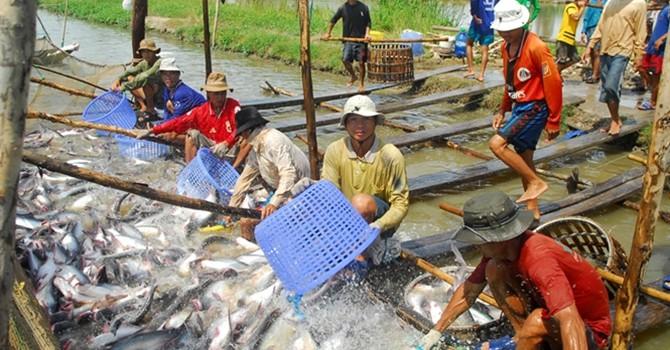 Cần Thơ: Diện tích nuôi cá tra giảm gần 14%