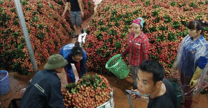 Tám container vải tươi Việt Nam vào Mỹ, Úc