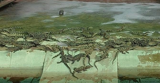 Giá cá sấu giống hạ nhiệt