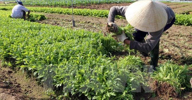 Sản lượng rau xanh của thủ đô Hà Nội chỉ đáp ứng 60% nhu cầu