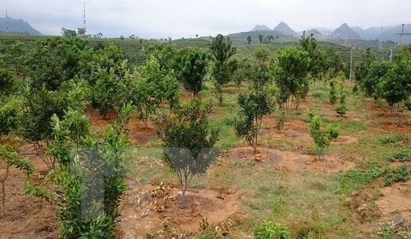Thanh Hóa dừng đề án quy hoạch phát triển cây mắc ca