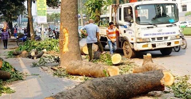 Chủ tịch Hà Nội: Cải tạo, thay thế cây xanh là bài học đắt giá