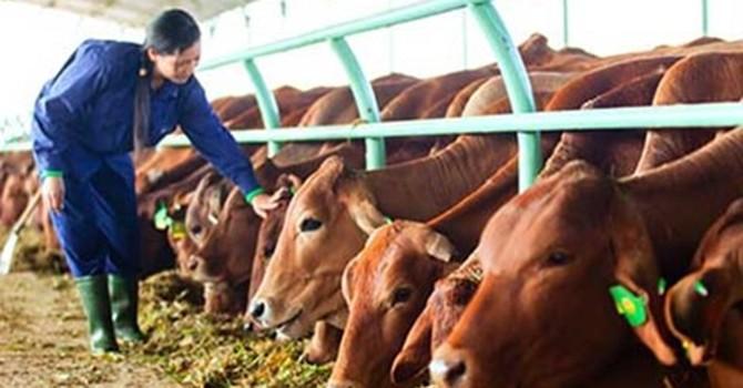 Cáo bạch HAGL Agrico: 2015 doanh thu bán bò đạt 3.000 tỷ đồng