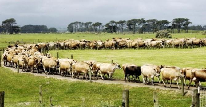 """""""Khủng hoảng sữa"""" New Zealand làm chậm TPP"""