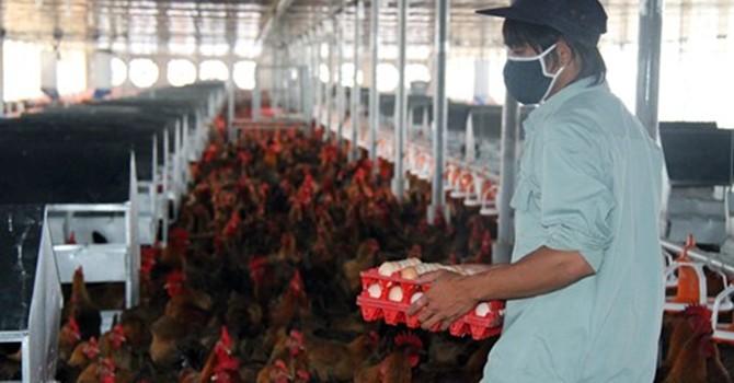 """Cục Quản lý cạnh tranh """"trách"""" người chăn nuôi phản ứng """"gà Mỹ bán phá giá"""" quá chậm"""