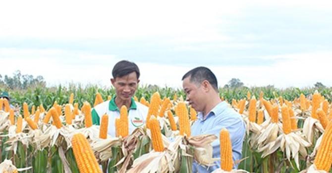 """Nông dân Việt """"mê"""" bắp biến đổi gen"""
