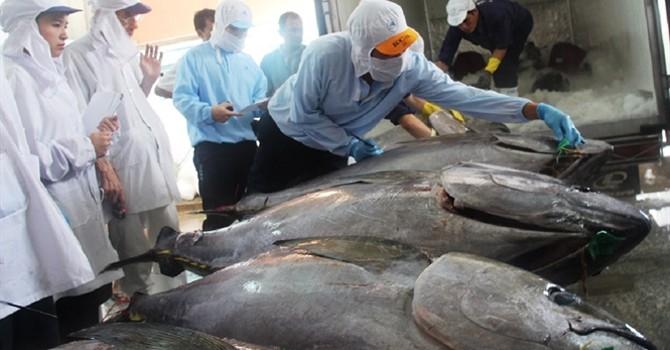 Thu mua cá ngừ: Đổ đồng một loại giá cho tất cả loại cá là bất hợp lý