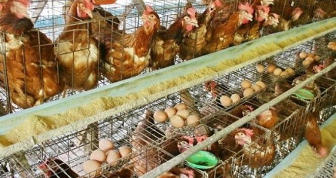 """Thịt bẩn, chất cấm """"quật ngã"""" ngành chăn nuôi khi vào TPP?"""